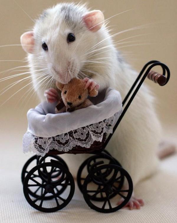 老鼠超愛小熊娃娃12