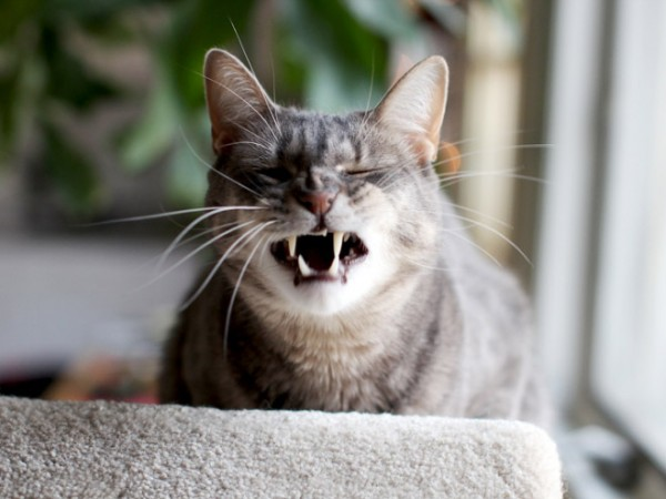 打噴嚏貓15