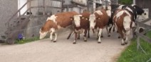 牛逃出牛圈00