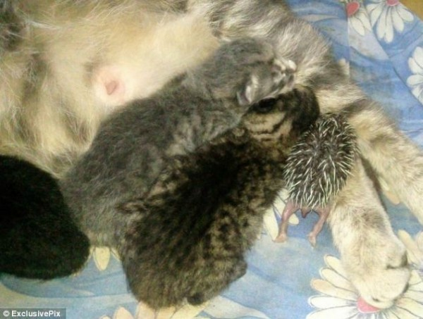 貓咪收養刺蝟寶寶2