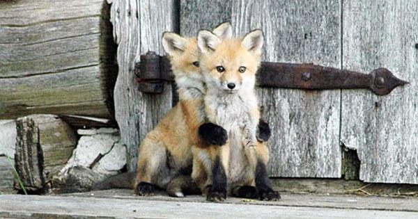 一點都不狡猾!22張照片證明狐狸根本很可愛