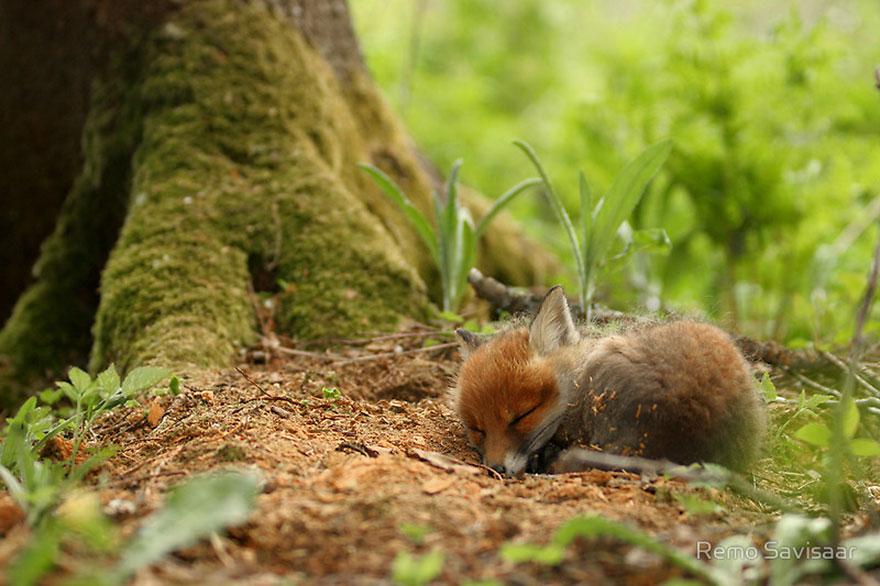 小狐狸11