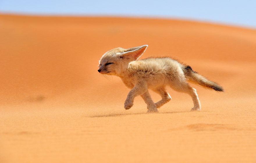 小狐狸12
