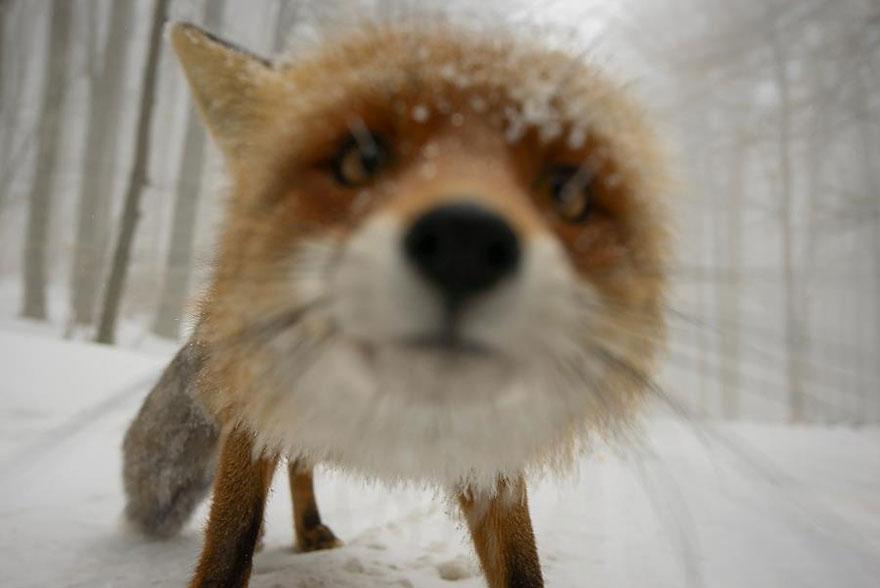 小狐狸17