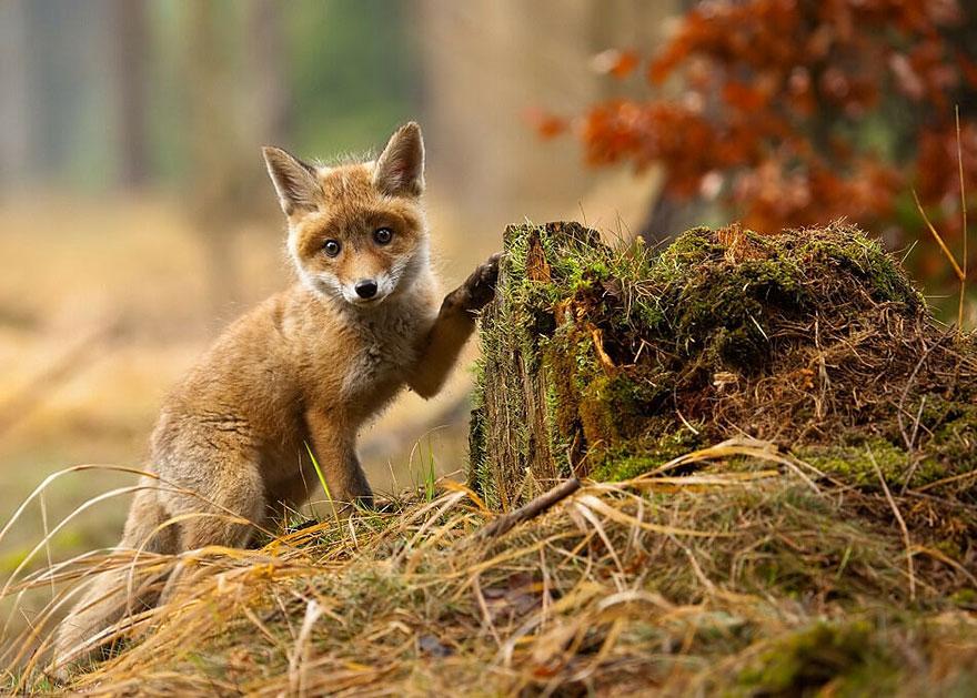 小狐狸18