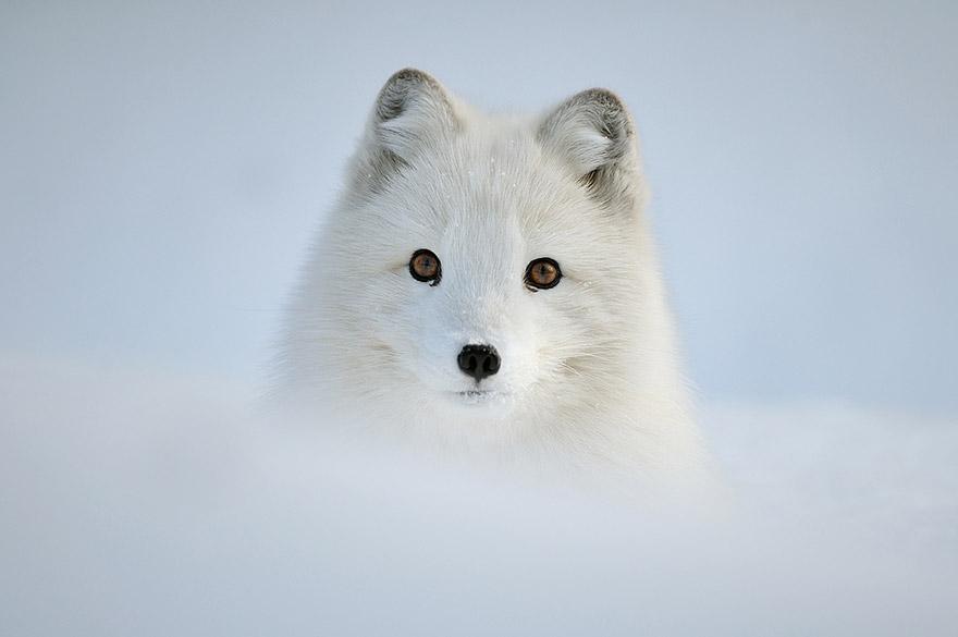 小狐狸21