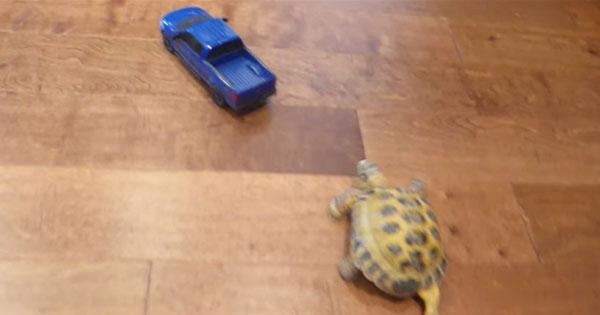 烏龜追著遙控汽車跑,發出的聲音超療癒
