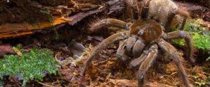 世界最大蜘蛛