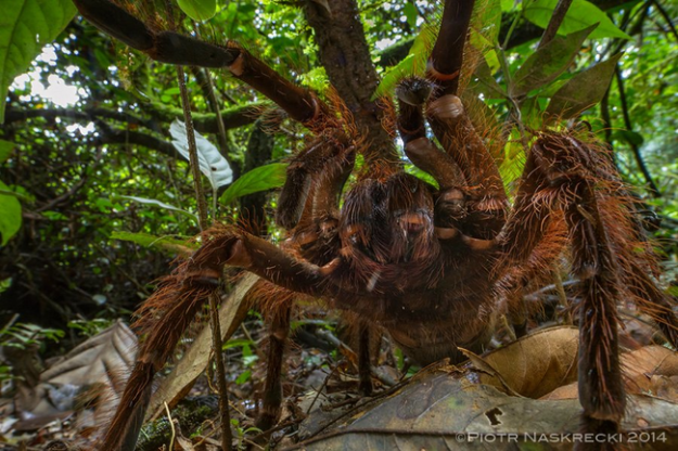 世界最大蜘蛛1
