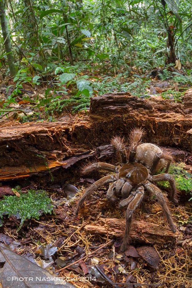 世界最大蜘蛛2