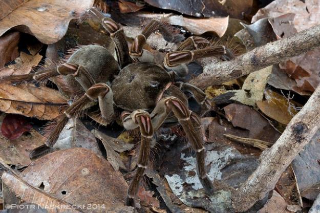 世界最大蜘蛛4