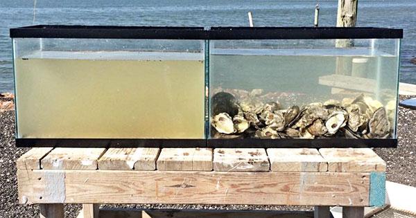 這兩缸一模一樣的水,只差在一個有牡蠣一個沒有