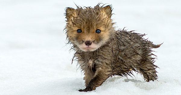 一位俄國採礦工程師在上班閒暇時間,拍下狐狸的照片