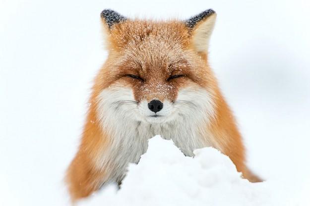 北極狐狸1