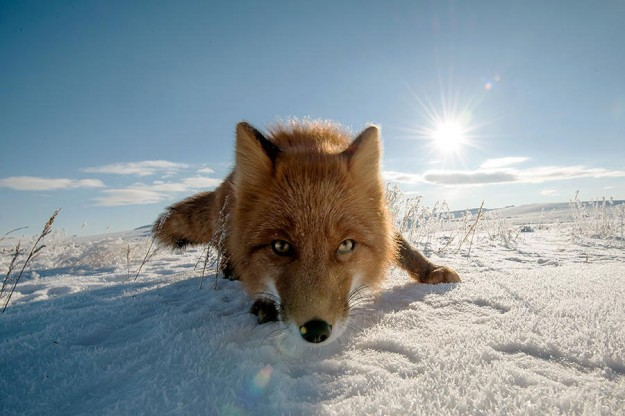 北極狐狸10