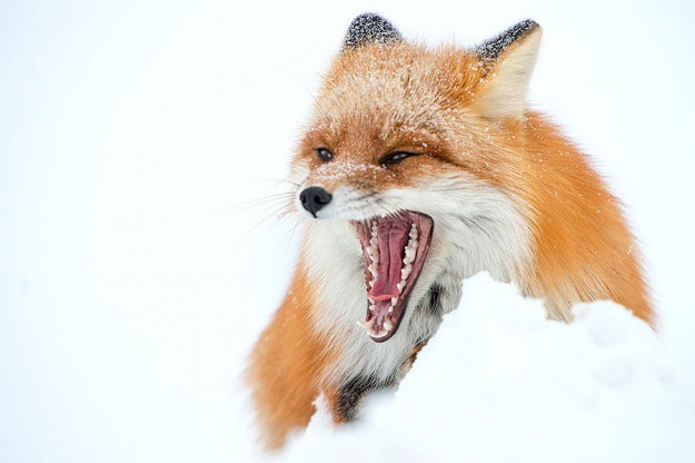 北極狐狸11