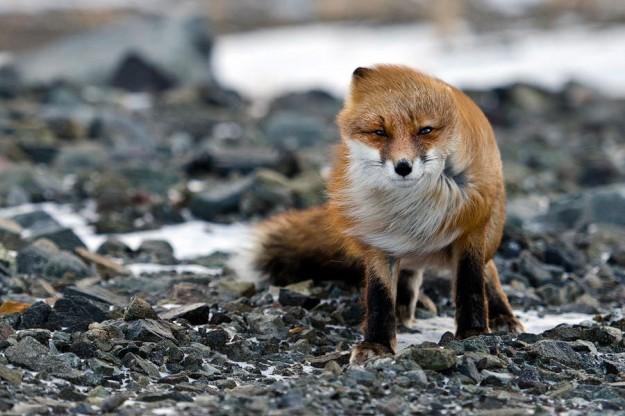 北極狐狸12