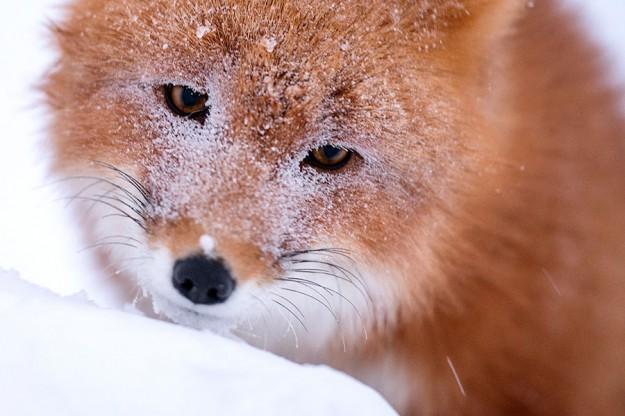 北極狐狸13