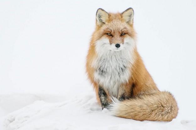 北極狐狸14