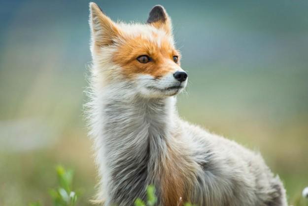 北極狐狸15