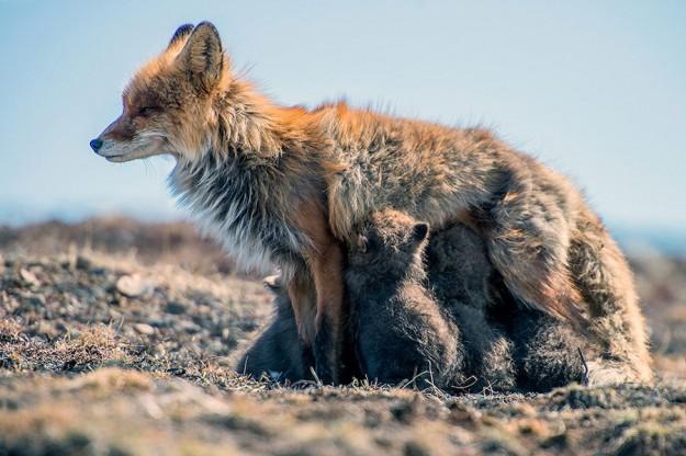 北極狐狸16
