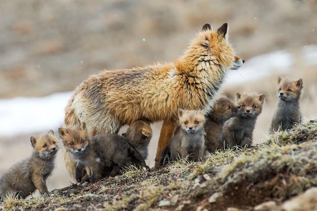 北極狐狸2