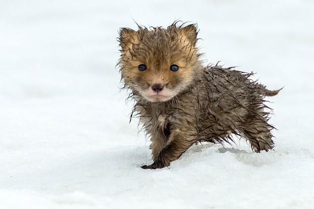北極狐狸3