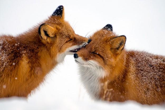 北極狐狸4