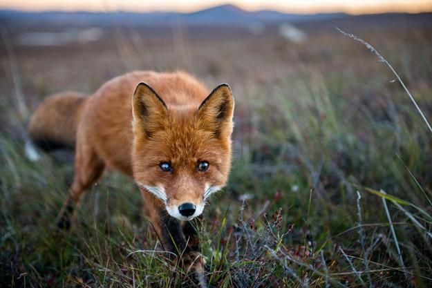 北極狐狸5