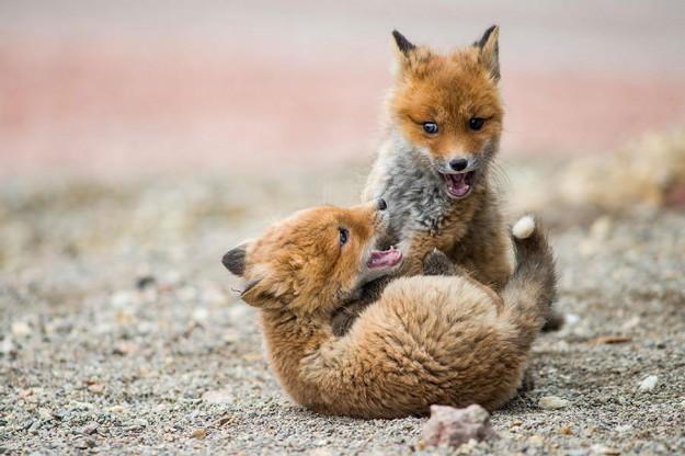 北極狐狸6
