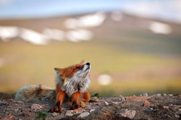 北極狐狸7