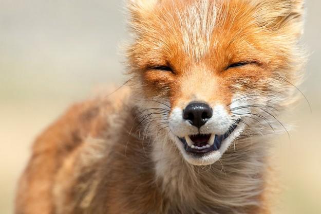 北極狐狸8