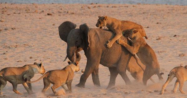 小象逆轉勝