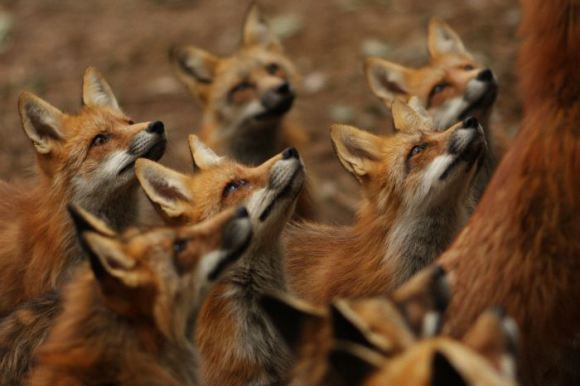 狐狸村11