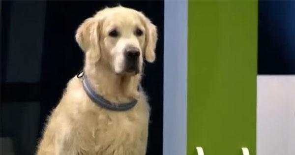 笨到很可愛的黃金獵犬,顯然誤以為自己贏了這場比賽