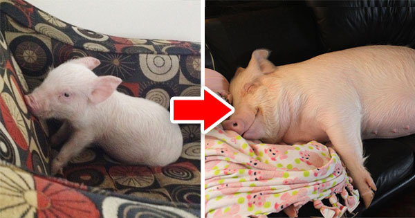 """兩個爸爸收養迷你豬,沒想到""""迷你豬""""現在已經300公斤"""