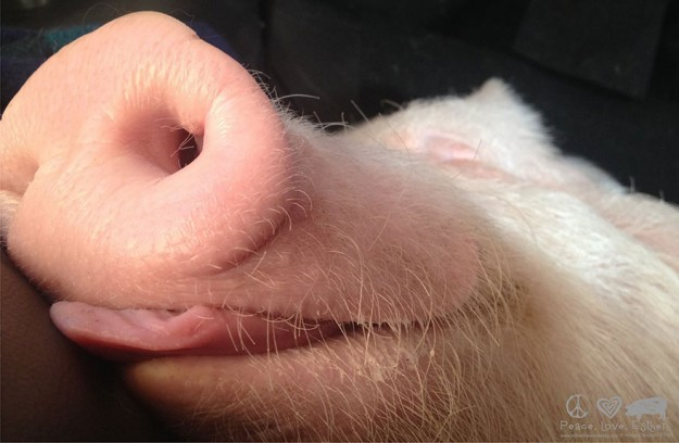 偽迷你豬4