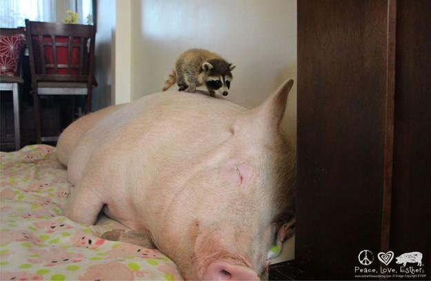 偽迷你豬9