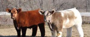 吹乾後的牛