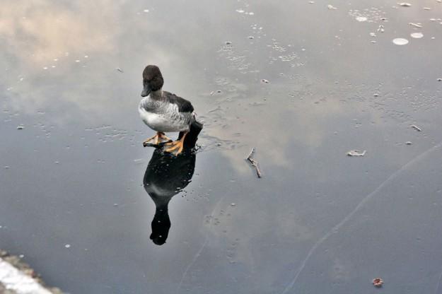 鴨子溺水1