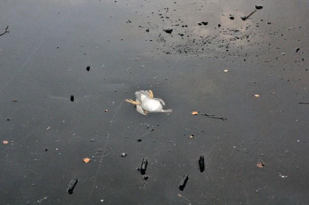 鴨子溺水2