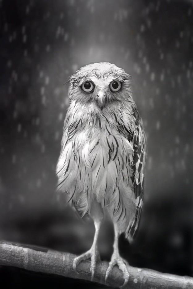悲傷貓頭鷹1