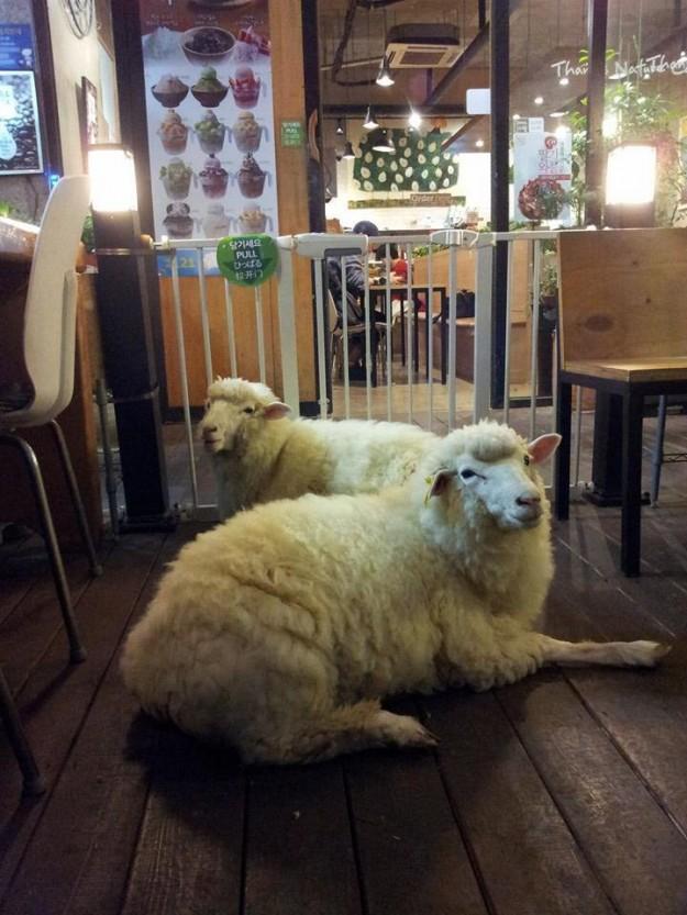 羊咩咩咖啡4