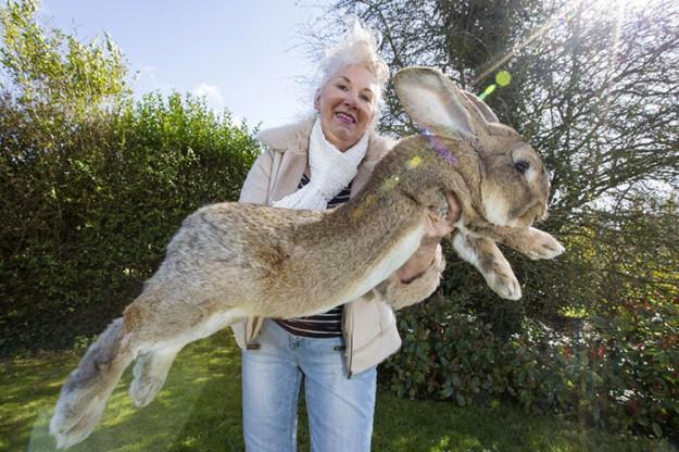 世界最大兔1