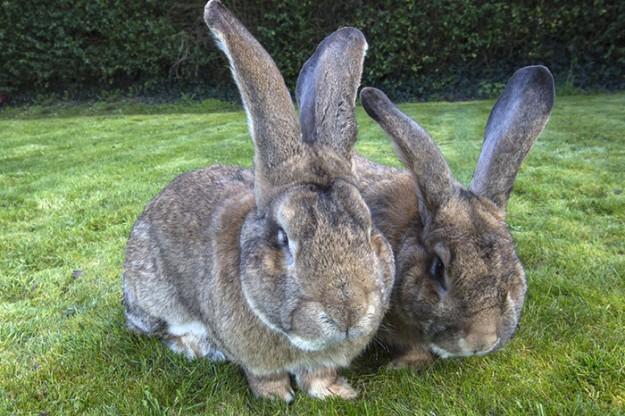 世界最大兔2