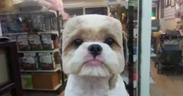 台灣的寵物美容把小狗的頭剪成超完美正方形、圓形,萌翻各國鄉民
