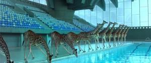 長頸鹿跳水