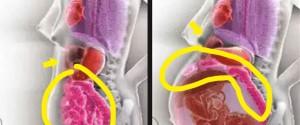 懷孕器官圖